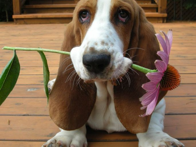 basset-hound-howard_34698_990x742