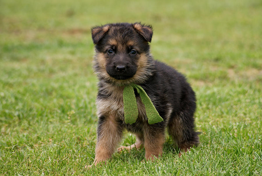 the german shepherd dog in word and picture pdf