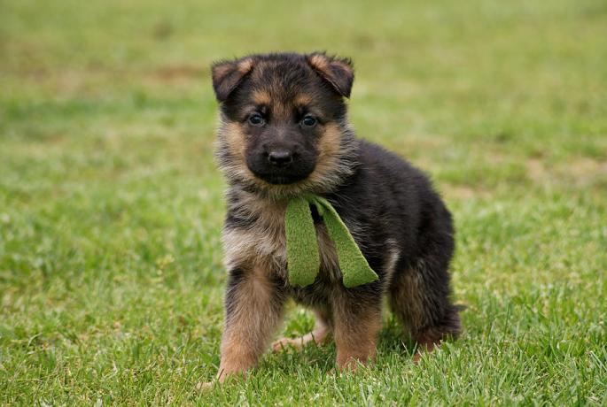 german-shepherd-puppies-wallpapers-free