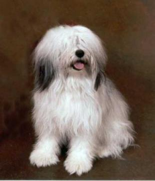 polish-lowland-sheepdog-0006