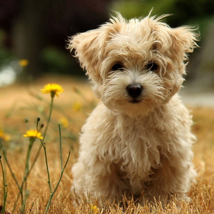 Poodle_Puppy_Picture