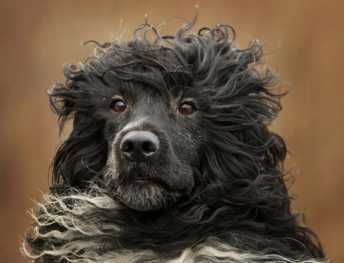 portuguese-water-dog-face-wallpaper