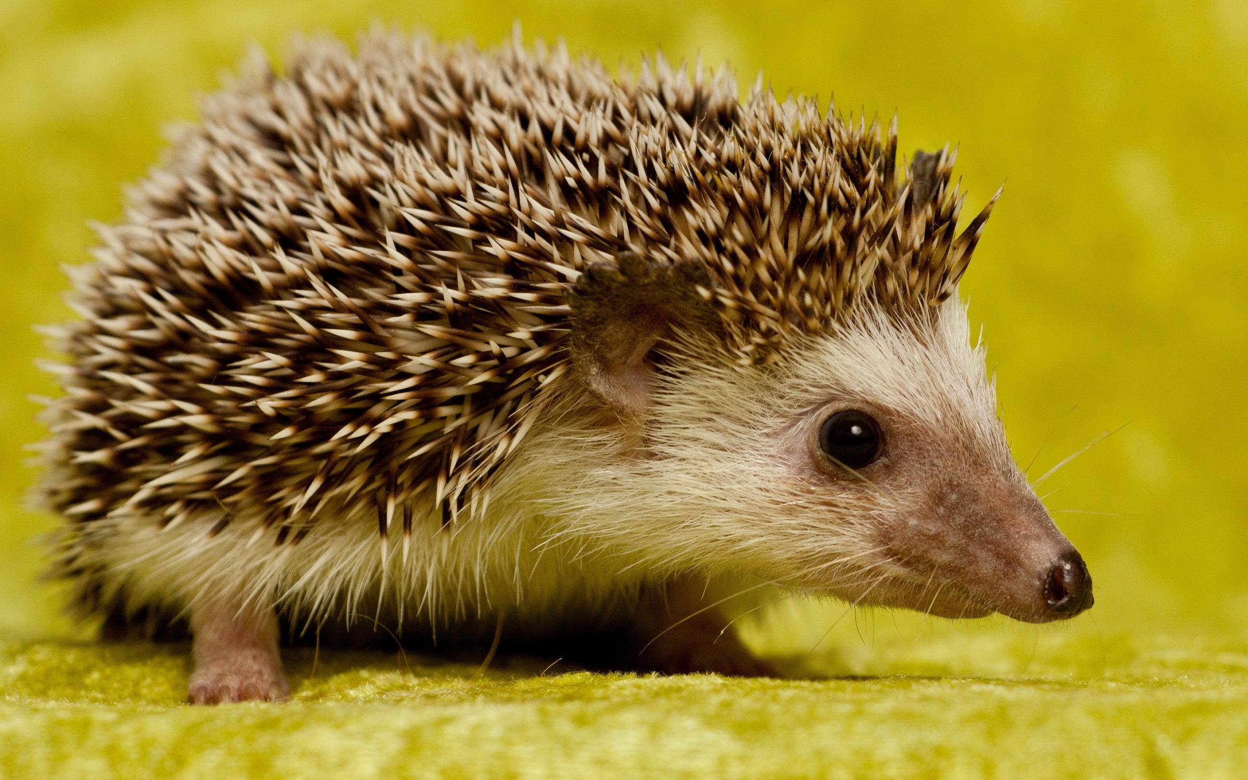 hedgehogs – spartanholiday
